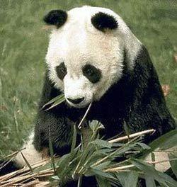 В Китае запрещена охота на панд