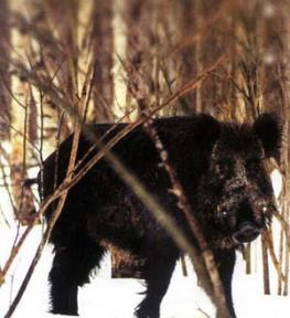 Охота на кабана в Азербайджане