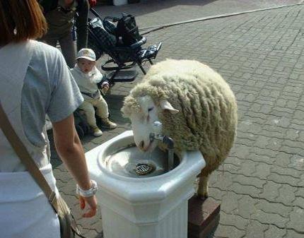 Баран решил водички попить :)