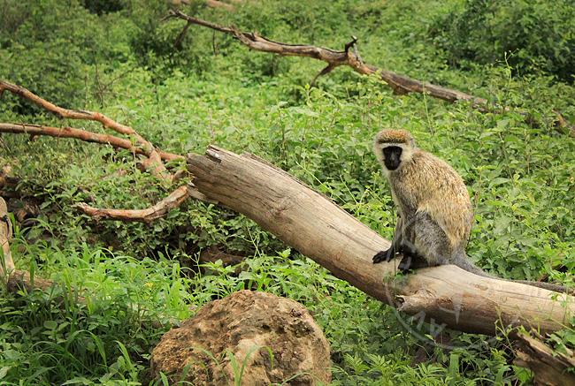 Обезьяны в Кении - фото