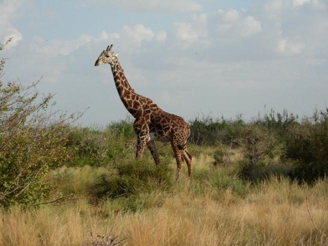 Африканский жираф - фото