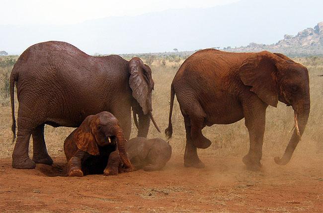 Африканские слоны - парк Тсаво