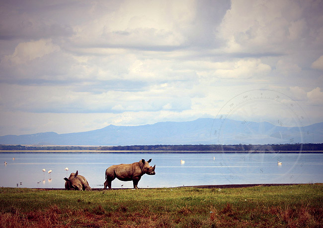 Сафари по заповедникам Кении