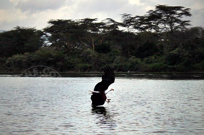 Орел - рыбак - Кения - озеро Наиваша