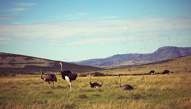 Страусы - животные Кении