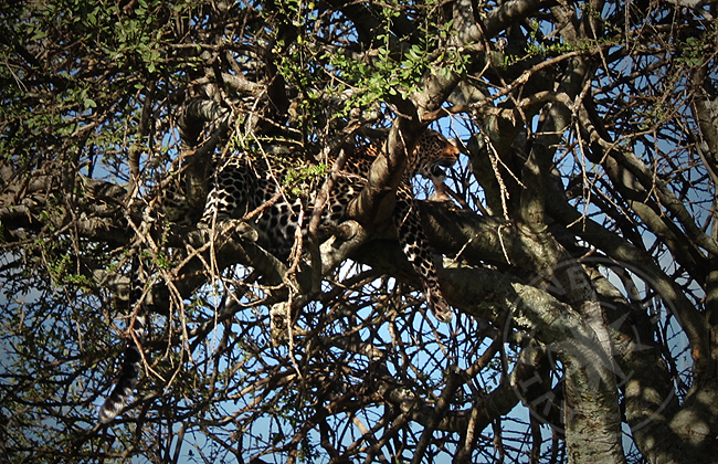 Гепард - отдых на дереве - фото