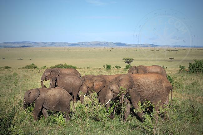 Слоны в Африке - заповедник - национальный парк