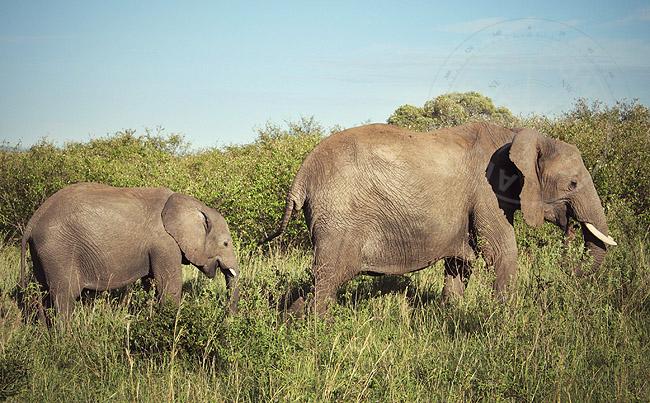 Африканские слоны - фото