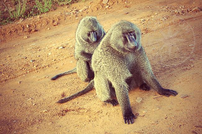 Африканские обезьяны - фото