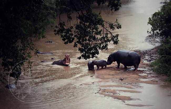 Бегемоты - Кения - Африка