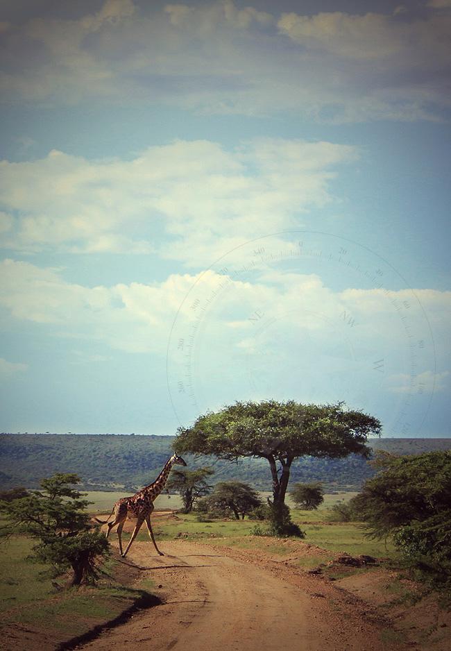 Жираф - Африканский жираф