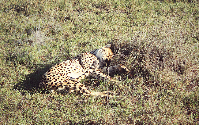 Гепард - фото Кении