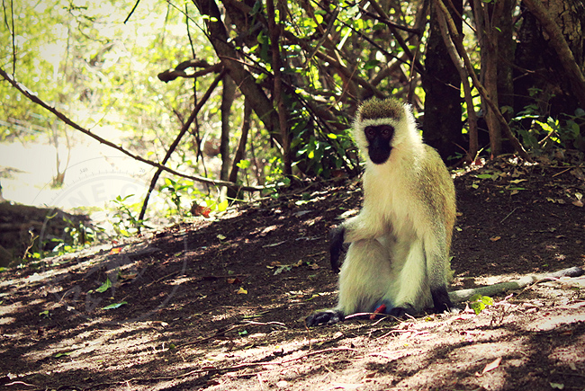 Кения - африканские обезьяны