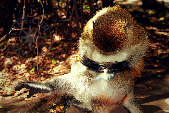 Животные Африки - обезьяны