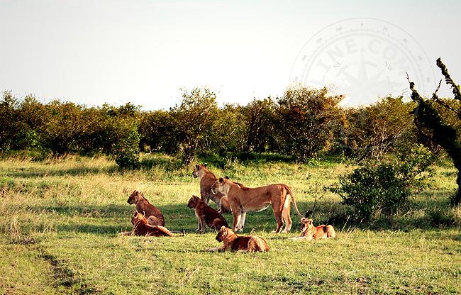Африканские львы - фото