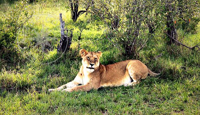 Львы Африки - фото