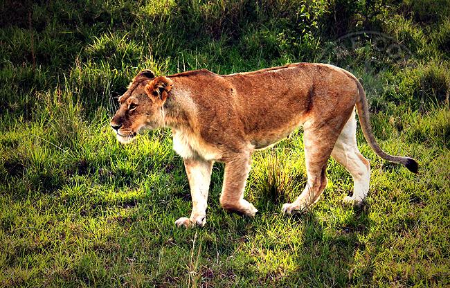 Львы в национальном парке - фото