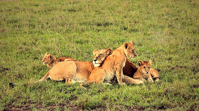 Семья африканских львов - Кения