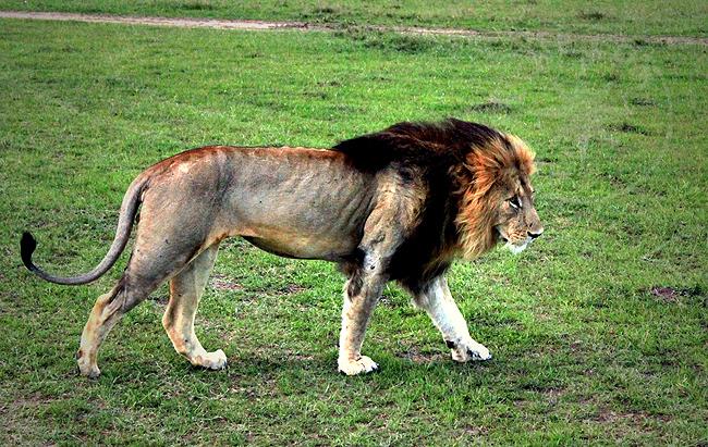 Взрослый лев - Кения