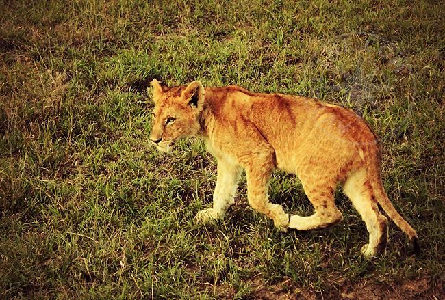 Африканский львенок - охота запрещена