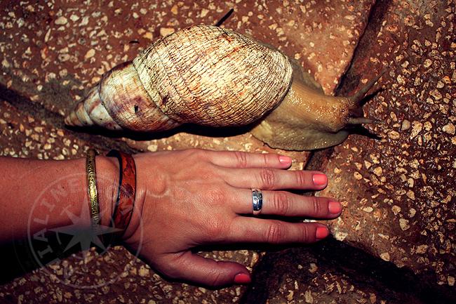 Занзибар - гигантская улитка