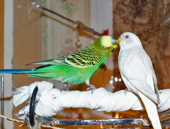 Волнистый попугай кормит