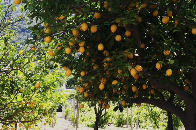 Стромболи, Хорватия, Спеют лимоны, фото flickr.com