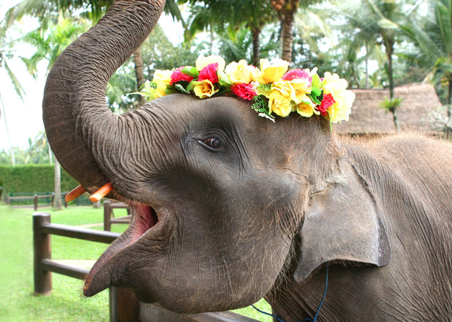 Бали  - умный слон :)