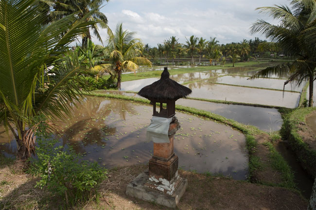 Бали - рисовые поля