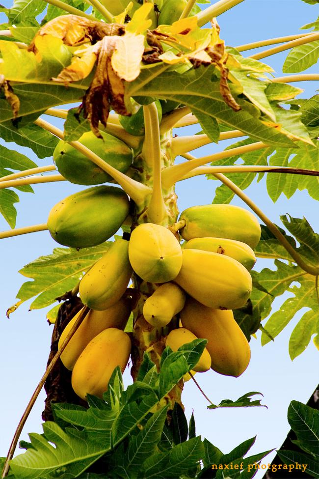 Папайя -фото - Мальдивы