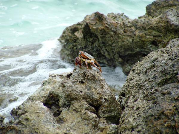 Крабы на Мальдивах - явление не редкое!