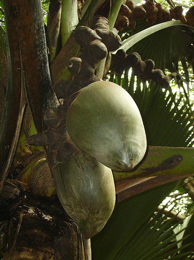 Кокосы - растения на Сейшелах