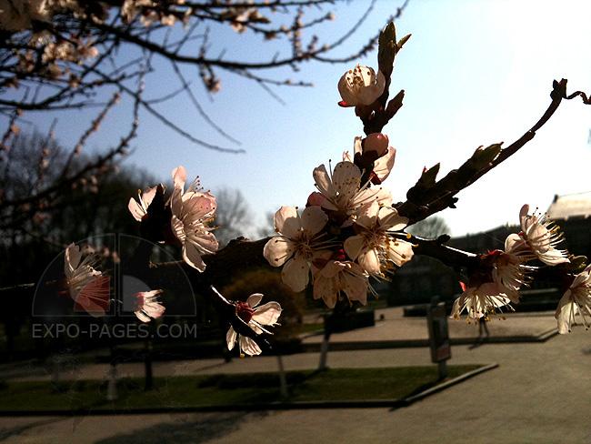 Украина - весна - цветут деревья