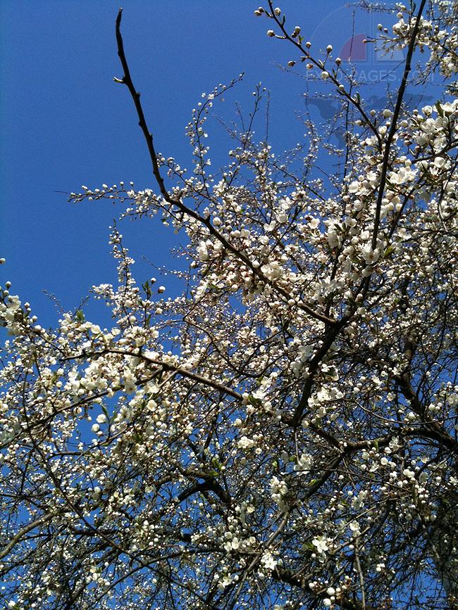 Яблони в цвету - фото
